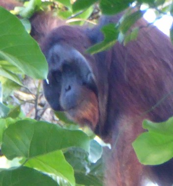 Adventure Alternative Borneo Sabah Jungle Orangutan